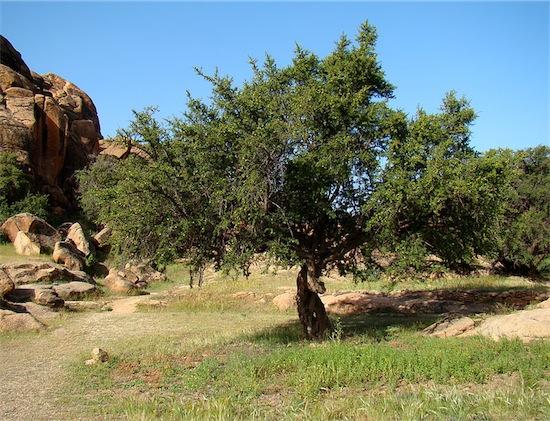 26 albero di argan