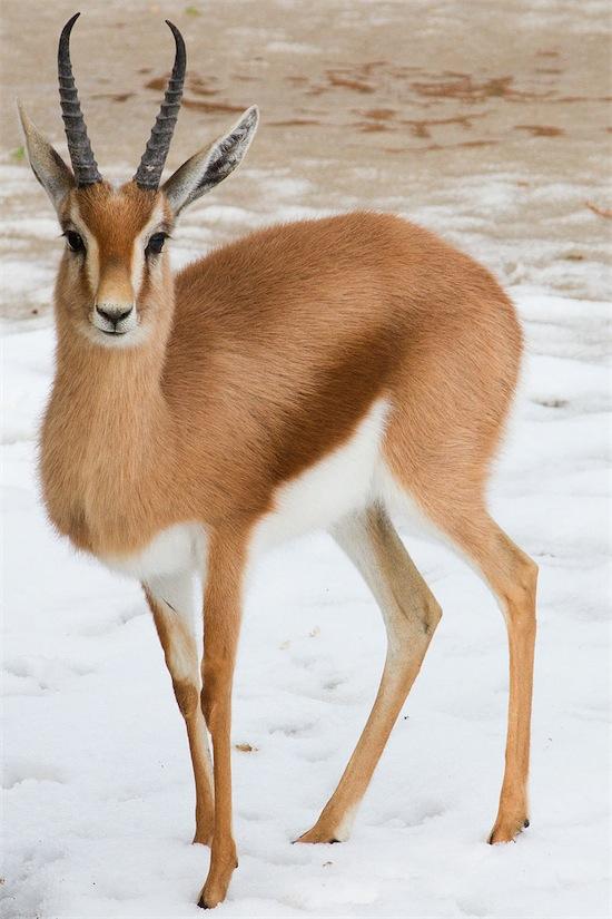 28 gazzella dorcas